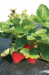 Film de paillage pour fraises - FRESAFILM - 10 x 1.40 M - NORTENE